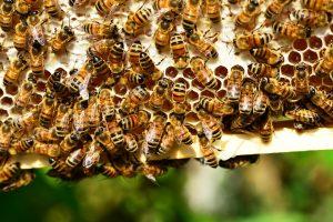 med, včela, včely