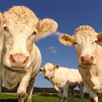 Evropou se šíří nebezpečná virová nákaza skotu